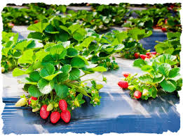 Aardbeien planten kopen plastic