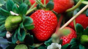 Aardbeien planten kopen