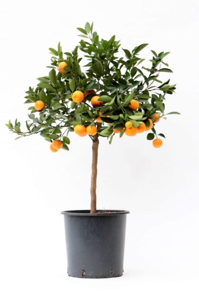citrusboom binnen