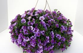 hanging basket purple