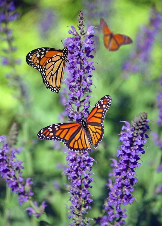 Afbeeldingsresultaat voor vlinders in de tuin